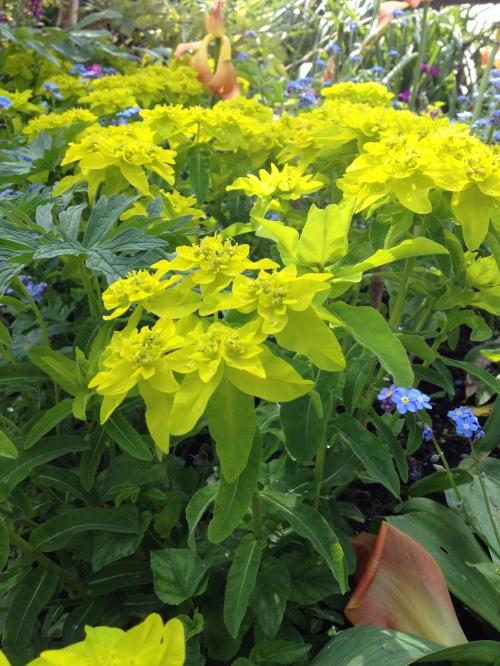 Euphorbia polychroma Major