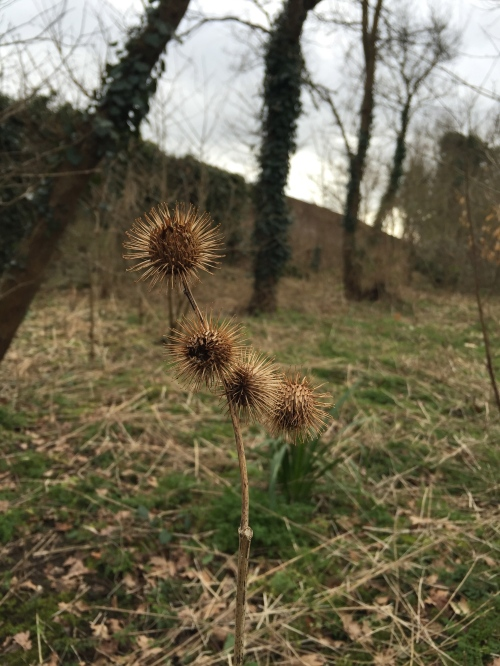 Burdock seed heads (Arctium sp.)