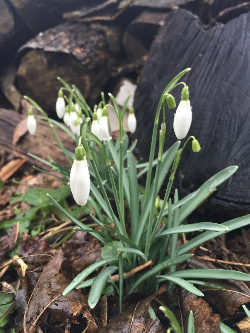 Snowdrops in flower (